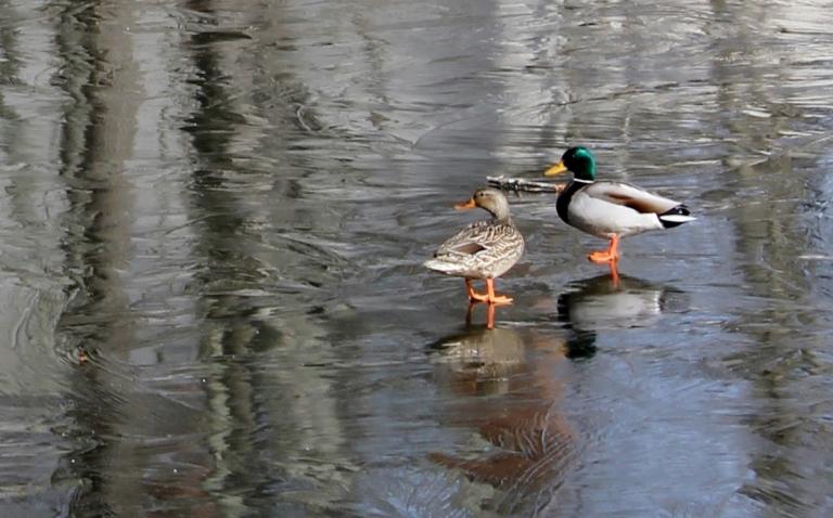 Duck - 2